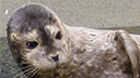 Harbor Seals Cam, California