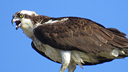 Oxford Osprey Cam, Massachusetts