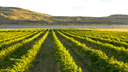 Washington Vineyard Cam, Washington